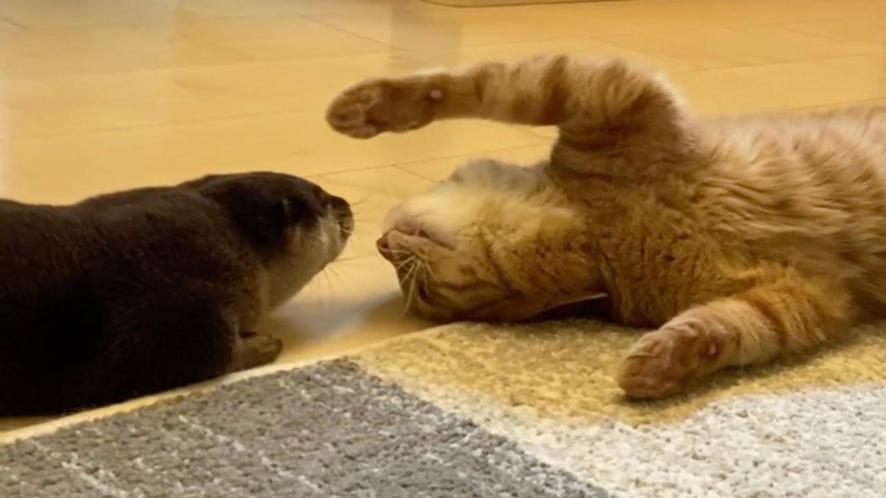 猫が必死にかまってちゃんするもスルーするカワウソが最後には…! Cat and otter you want to play