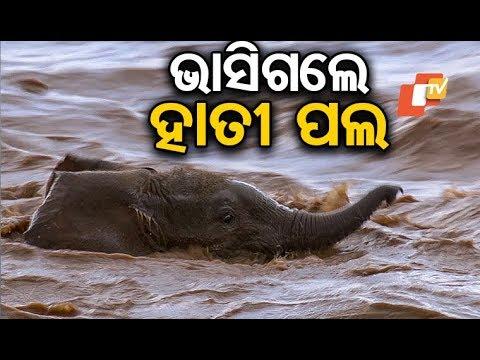 A herd of elephants swept away by flood water in Mahanadi