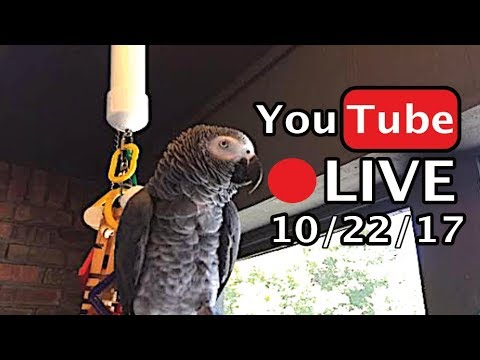 🔴🐦Einstein Parrot LIVE! 10/22/17 Talking and being silly on the porch