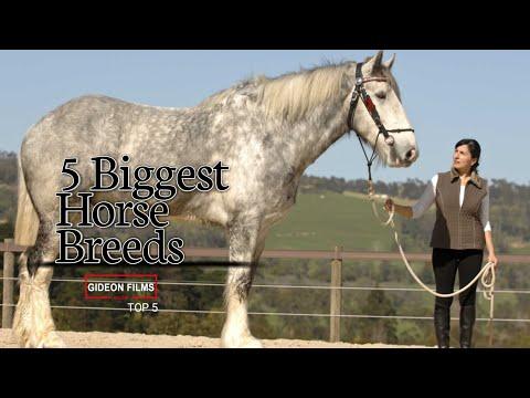 5 Biggest Horse Breeds   World's Biggest Horse   Biggest Horse in the World