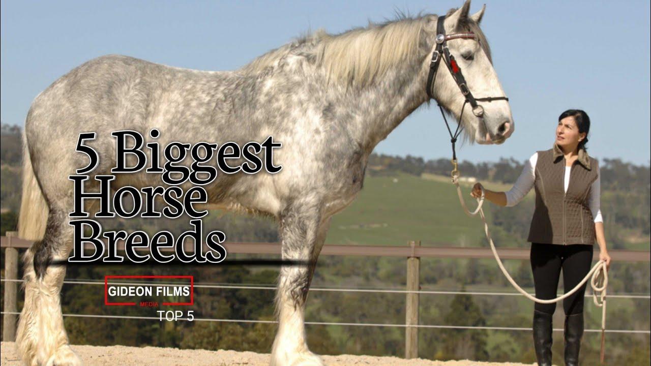 5 Biggest Horse Breeds World Quot S Biggest Horse Biggest