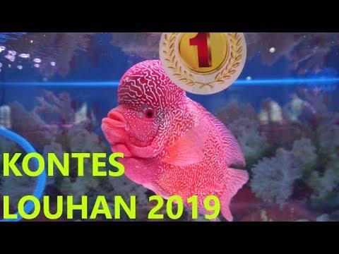 KONTES LOUHAN 2019, SEMARANG BISA, Harga 25jt..?