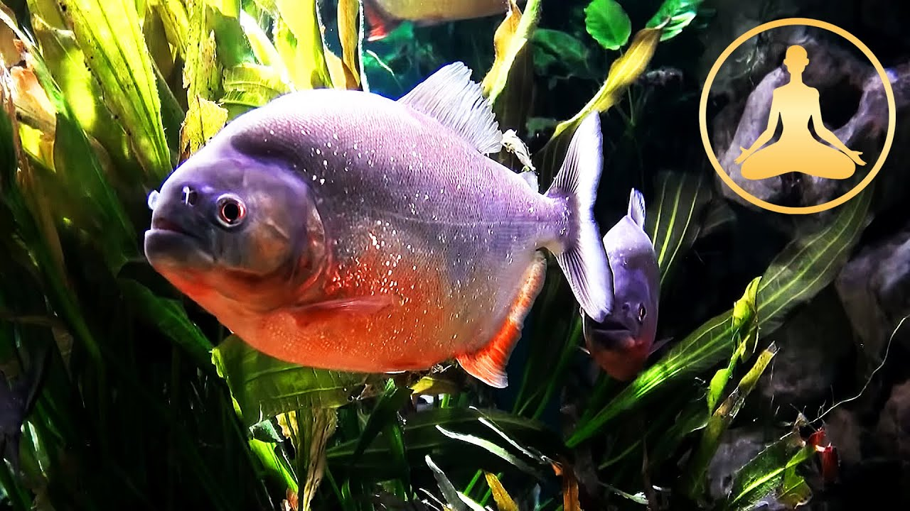 piranha fish tank - tv aquarium - hdtv - youtube