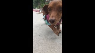 Dachshund With Severe Back Pain Avoids Expensive Surgery and Gets Healed in 3 Months