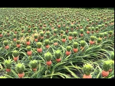 фото ананасовое дерево
