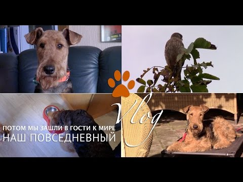 VLOG: Отзывы о породе эрдельтерьер, сокол на дереве, золотая осень