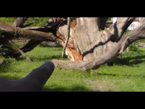Запорожский дуб !повесился