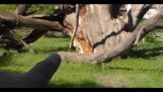 Запорожский дуб !повесился !