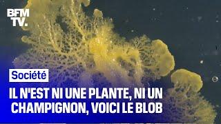 C'est quoi le blob, cet organisme qui débarque au parc zoologique de Paris ?