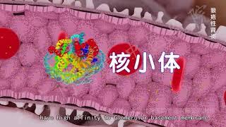 The Pathology of Lupus Nephritis and Lupus Podocytopathy- Part I.