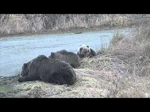 12+ Медвежонок умирал в прямом эфире Жалко Аляска Bear cub was dying in Alaska live It