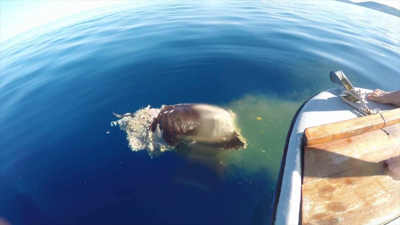 Requin tigre mayotte youtube - Photo de requin tigre a imprimer ...