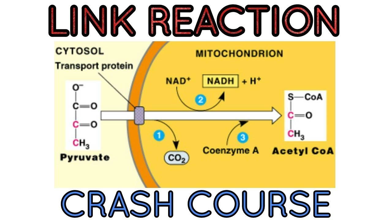 glycolysis diagram biology enzymatic diagram of glycolysis link reaction in respiratory pathways an important step #3