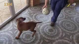 Тина-трейдинг, тест щенка, родезийский риджбек 1334