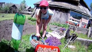 Сажаем картошку по-белорусски