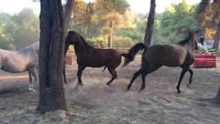 Horses Flirting- Άλογα στην Β. Εύβοια, Παραλία Αγίας Άννας