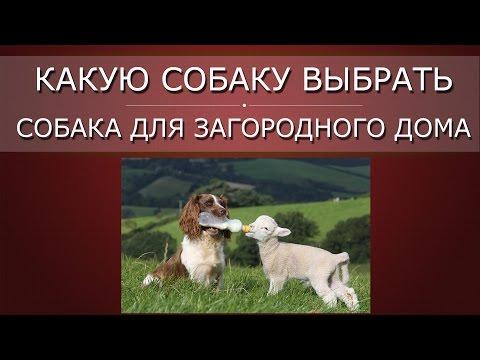Какую собаку выбрать, ч 2   Собака для загородного дома