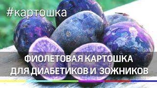 Фиолетовая картошка для диабетиков и сторонников ЗОЖ растёт в Подмосковье