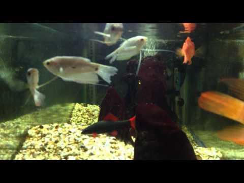 Cá vàng bơi trong bể nước thật đẹp (Part 1)