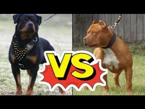 Pitbull ou Rottweiler ? Qual escolher veja as diferenças