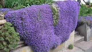 видео Вьющиеся растения для сада.