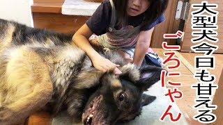 grandchild and #GermanShepherd #dog#シェパード犬 #大型犬#ジャーマン...