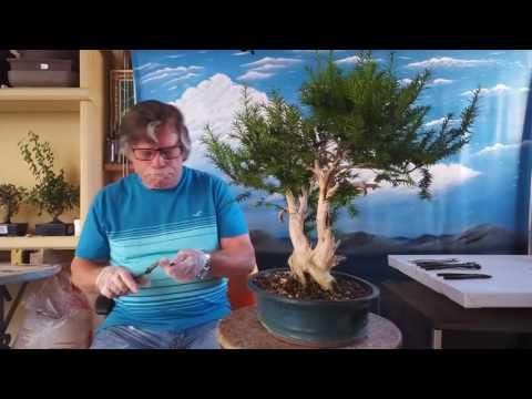 Actualizacion tanuki de el tejo taxus baccata limpieza y alambrado 1 parte