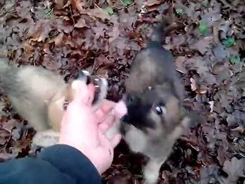 Страшное нападение волков в лесу на человека