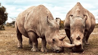 Download These Two Rhinos Are The Last Of Their Kind | Seven Worlds, One Planet | BBC Earth