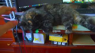 У кошки брачный период, кошка лежит и балдеет на моём рабочем столе