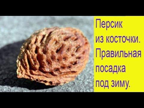 Персик из косточки. Правильная посадка под зиму. Выпуск 276