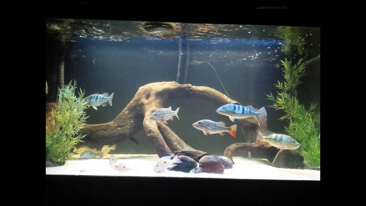 450 peacock bass aquarium update youtube for Bass fish tank