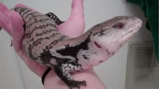 Blue Tongue Skink Swimming in Bath