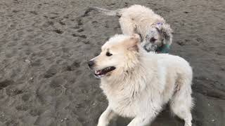 20210309 wolfhound tests the water of beach season & plays with great pyrenees