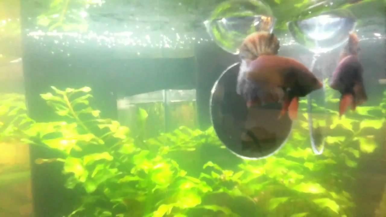 Halfmoon plakat male betta fish flaring in mirror youtube for Betta fish mirror