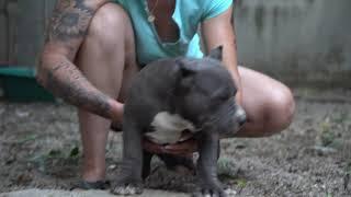 SON MR.CUB & DORINA .BLOODLINE BIG DOGS ROMANIA .3 MONTHS OLD