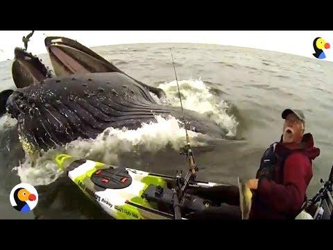 HUGE Whale Surprises Guy On Kayak | The Dodo