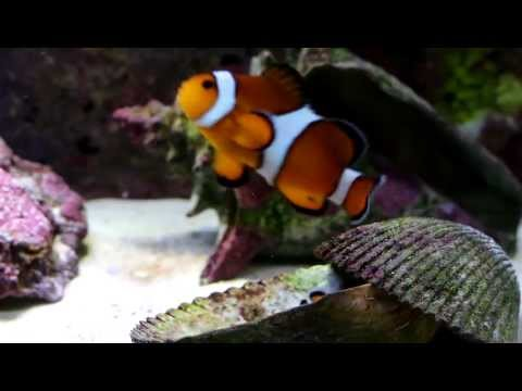 Percula Clown Fish Pair And Their Usual Behavior
