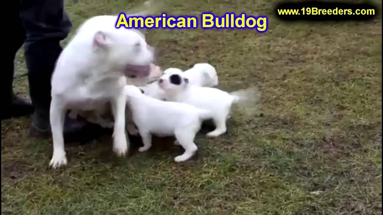 American Bulldog, Puppies, Dogs, For Sale, In Albuquerque, New Mexico, NM,  19Breeders, Rio Rancho