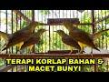 Kolibri Kelapa Korlap Gacor  Mp3 - Mp4 Download