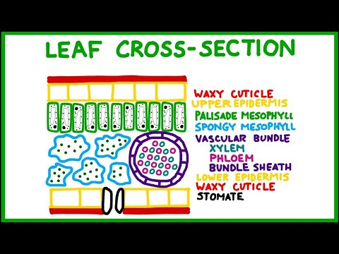 Leaf Structure Cross-Section
