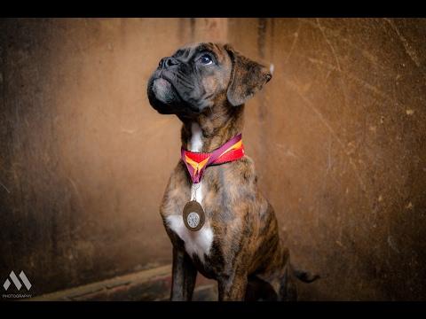 Saffie - Boxer Puppy - 3 Weeks Residential Dog Training