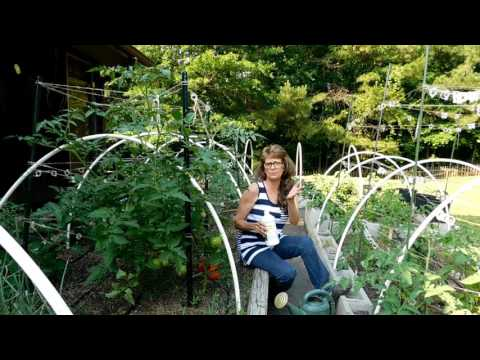 How To Increase Your Tomato Production With Fish Fertilizer