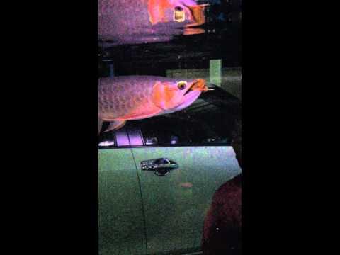 ปลามังกรแดงกินตะขาบแดง