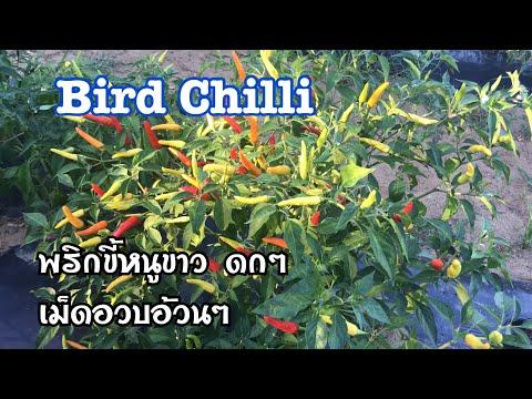 พริกขี้หนูขาว Bird Chilli   ดูพริกขี้หนูขาว เม็ดอวบอ้วน พริกส้มตำ 260820