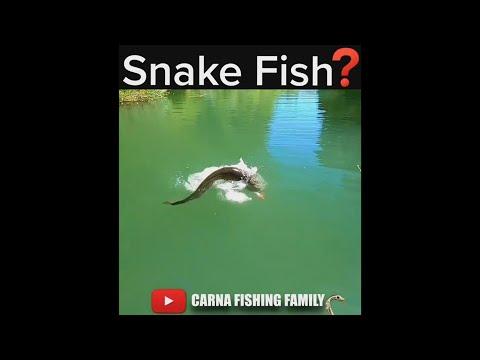 🐍 Snake Fish ? #fishing #fish #catfish #shorts