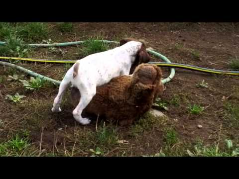 Jadefield German Shorthaired Pointers. Athena attacks a bear!