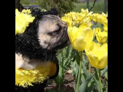 Doug The Pug - I'm a Bee