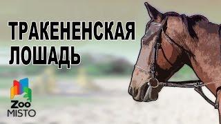 Тракененская лошадь - Все о породе лошади | Тракененская порода лошадей