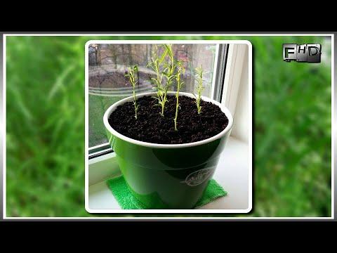 Эстрагон (тархун): посадка, выращивание, уход, сорта эстрагона